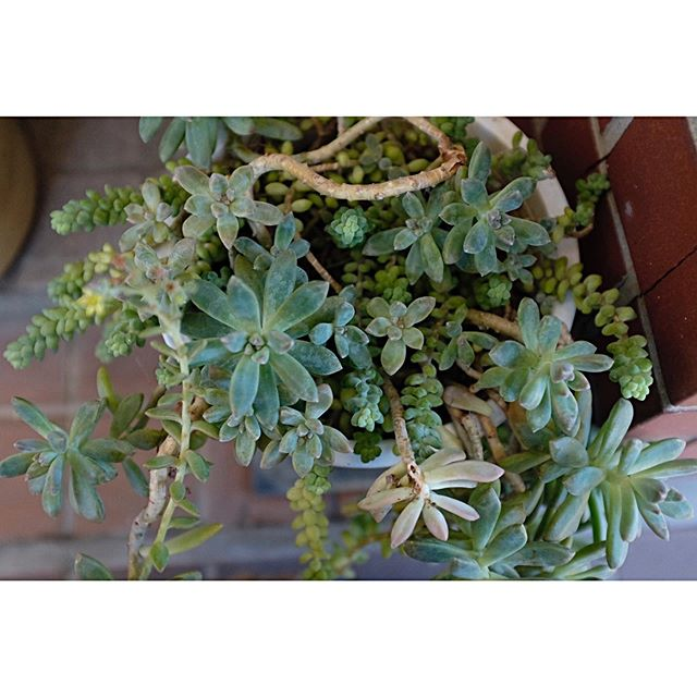 『The world breaks everyone, and afterward, some are strong at the broken places..』via Ernest Hemingway ・まず自分が心も体も溌剌でいなきゃ。・五月も中を過ぎました、梅雨はもうすぐ。・#サツキの日記 #多肉植物 #plants #green